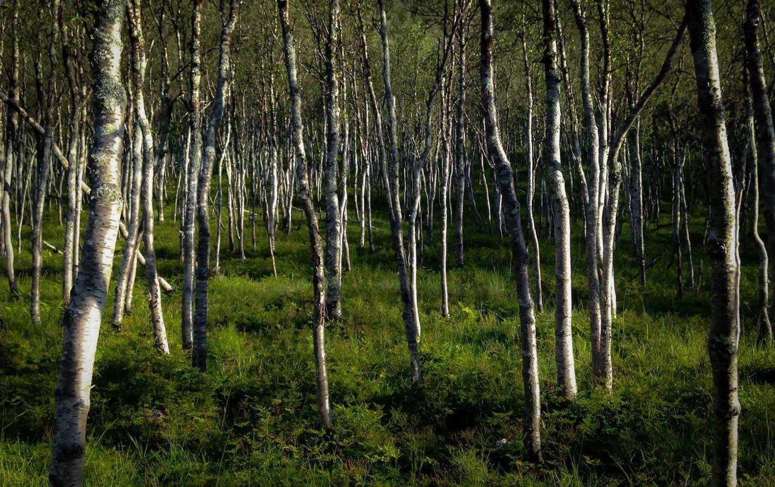 Et bildeutsnitt av flere trær i en skog. De står likt og ganske parallelt.