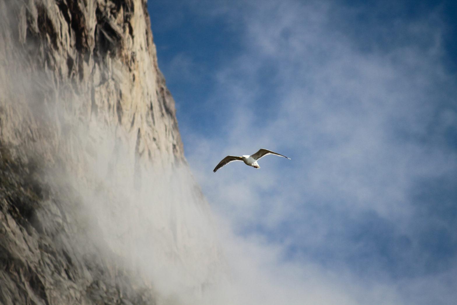 En måse flygende langs en fjellvegg fra froskeperspektiv.